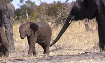 Աֆրիկայում առանց կնճիթի փիղ են հայտնաբերել