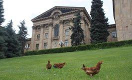 «Հրապարակ». Ինչ եղան ԱԺ բակում հայտնված հավերը