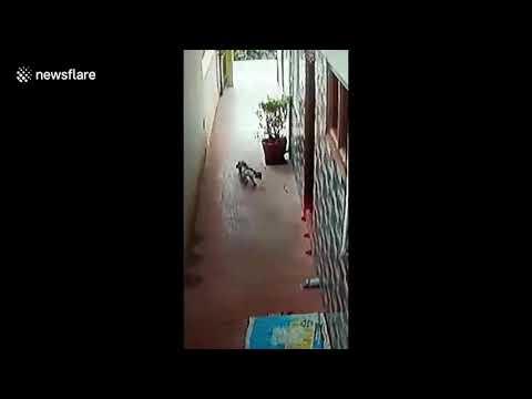ՏԵՍԱՆՅՈՒԹ. Կատուն տանտերերին փրկել է տուն մտած թունավոր կոբրայից