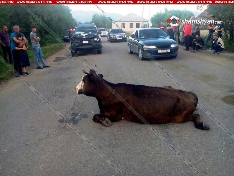 Իրար են բախվել «Զազո» կովն ու Nissan մակնիշի ավտոմեքենան. կա վիրավոր
