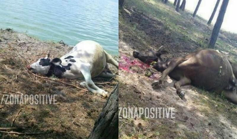 Սևանա լճից ջուր խմելուց հետո տասնյակ կովեր են սատկել