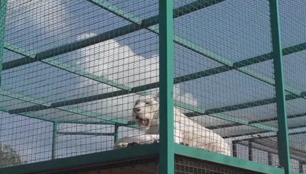 Հայաստանում վագրեր կբուծեն. ի՞նչ նպատակով են բուծվելու կենդանիները