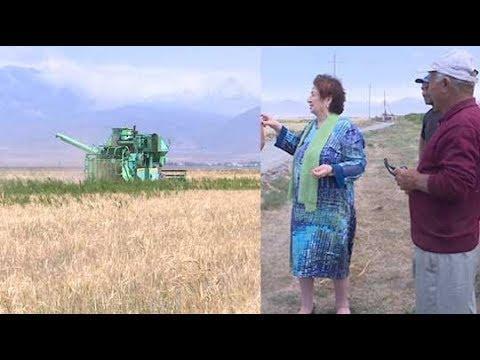 ՏԵՍԱՆՅՈՒԹ. «Մուլտի ագրո»-ի ցորենի և գարու ցանքատարածություններում սկսվել է բերքահավաքը