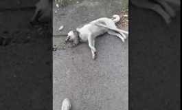 ՏԵՍԱՆՅՈՒԹ. ՖՈՏՈ. Գյումրիում, առանձնակի դաժանությամբ, շանը քարշ են տվել մեքենայի հետևից. հայտնի է, թե ով է մեքենայի սեփականատերը