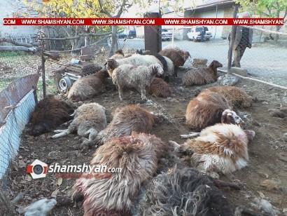 Արտակարգ դեպք Արագածոտնում. գայլերը հոշոտել են բազմանդամ ընտանիքի ոչխարները