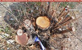 Նախարարի ընկերոջը պատկանող կենտրոնում ապօրինի հատվել են «թեղի» և «վիրգինյան գիհի» տեսակի ծառեր