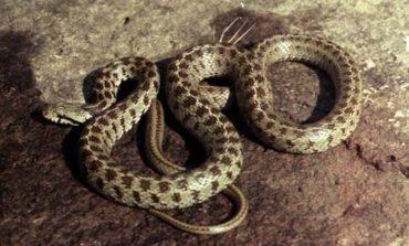Հավանական է, որ նոր մահացու կորոնավիրուսի կրողը օձն է